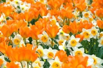 206945 Tulipa Orange Emperor