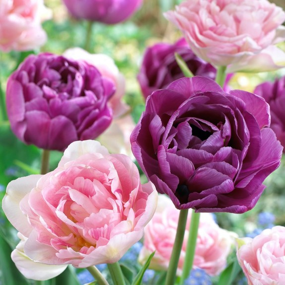 tulip_angelique_and_blue_diamond