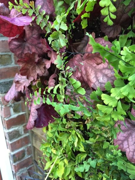 Dark purple-red heuchera makes the chartreuse maidenhair fern fronds look almost luminous