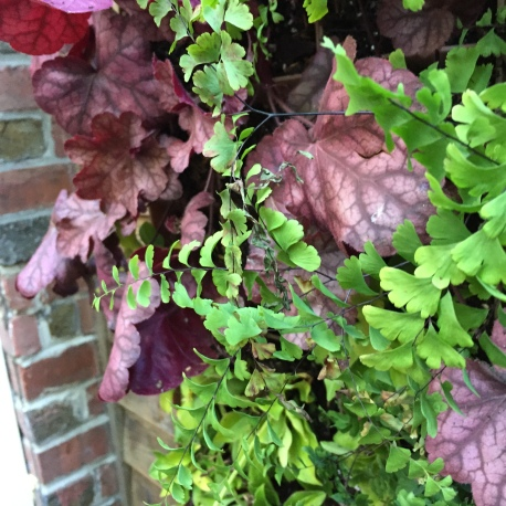 Dark purple-red heuchera makes the chartreuse maidenhair fern fronds look almost luminous