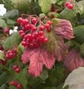 Viburnum trilobum, American cranberry bush